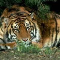 """Wwf: """"In alcune aree dell'Asia le tigri potrebbero triplicare in una generazione"""""""