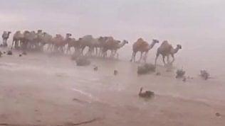 Anche il deserto può allagarsi:i cammelli affrontano l'alluvione