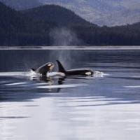 Tutta la tenerezza delle orche assassine