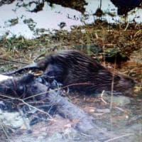 Torna il castoro dopo quasi cinque secoli nelle foreste del Friuli