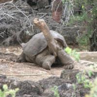 Nel genoma di George 'il Solitario' il segreto della longevità delle tartarughe giganti