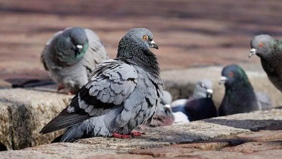Altro che biodiversità: l'uomo favorisce le specie più invasive, come ratti e piccioni