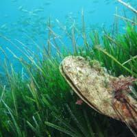 Le nacchere di mare rischiano di scomparire: colpa di un parassita