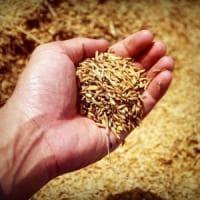 Ottenuti i primi cloni di riso dai semi