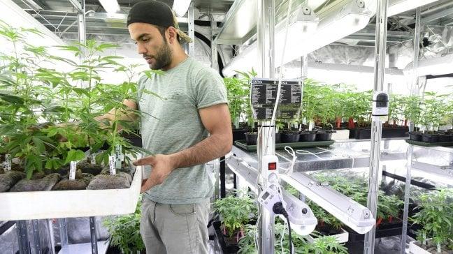 La marijuana fa sognare Big Tobacco