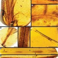 Le lunghe code degli antichi uccelli, piume conservate nell'ambra