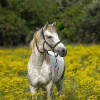 Anche i cavalli si stressano, ma sanno calmarsi da soli