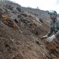 Galapagos, dopo 200 anni tornano le iguane