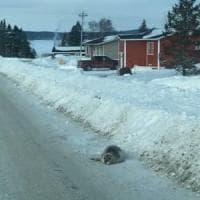 Canada, un branco di foche disperse invade le strade di un piccolo villaggio