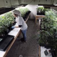 Salvini contro la proposta M5S sulla cannabis: