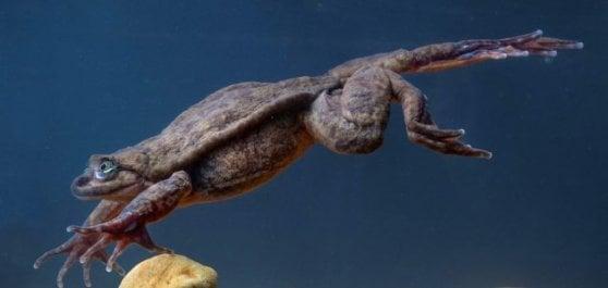 Romeo, la rana più sola del mondo, ha trovato la sua Giulietta