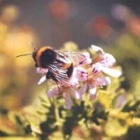 Anche le piante sanno ascoltare: sentono le api attraverso i fiori