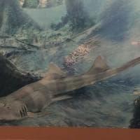 Nuova specie squalo preistorico fra resti del celebre T-Rex