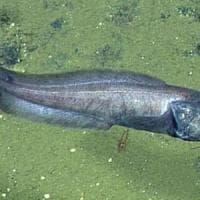 Ecco i pesci che riescono a vivere (quasi) senza ossigeno