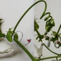 Il primo robot pianta: si arrampica come un viticcio