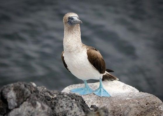 Galapagos, droni contro ratti: la battaglia hi-tech contro i roditori 'alieni'