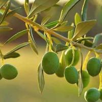 La Bella di Cerignola amata da James Bond e le altre: quanto conosciamo le olive?