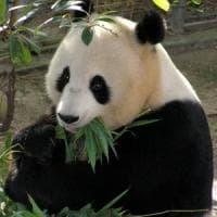 Quando i panda non mangiavano solo bambù