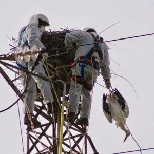 Rende, cicogna bianca uccisa nel suo nido. La Lipu: atto gravissimo e inqualificabile dei bracconieri