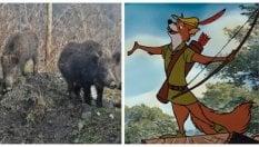 La Lombardia come la foresta di Sherwood: la Lega vuole cacciare i cinghiali con l'arco e le frecce
