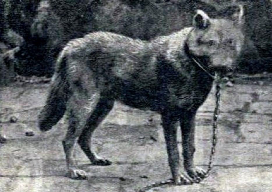 C'era una volta il lupo siciliano