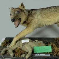 """Il lupo siciliano 'cugino' di quello appenninico. """"Sterminato dall'uomo''"""