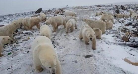 """Russia, villaggio sotto assedio degli orsi polari: """"colpa dello scioglimento della banchisa artica"""""""