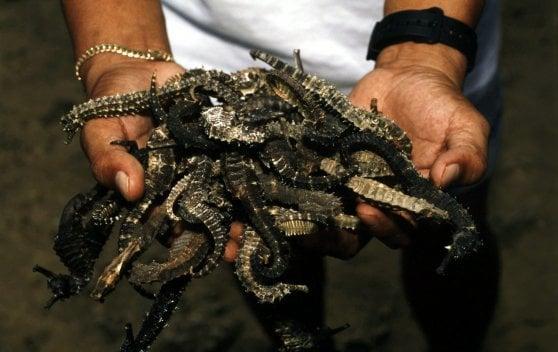 """Cavallucci marini venduti in Cina come afrodisiaci. """"Specie a rischio, già calata del 20-30%"""""""