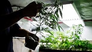 Marijuana, non ci sono più le canne di una volta