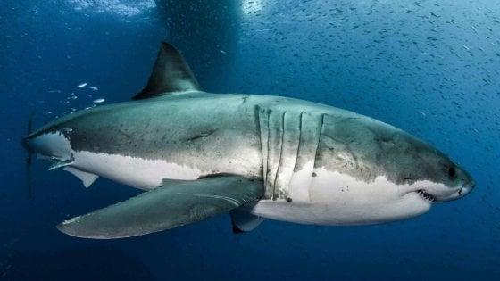 Mappato il genoma 'di ferro' dello squalo bianco, il segreto della sua longevità