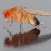 Le notti insonni del moscerino della frutta