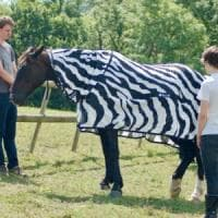 """Perché le zebre hanno le strisce? Gli esperti: """"Così gli insetti restano lontani"""""""