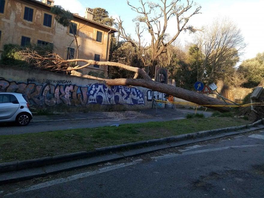Alberi caduti a Roma: il gigante di Villa Ada senza radici