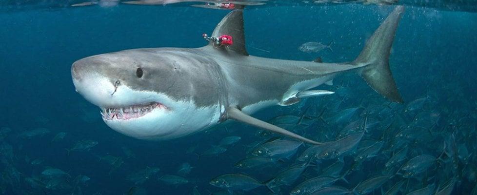 Il grande squalo bianco potrebbe correre, ma non lo fa. Per cacciare molto meglio le prede