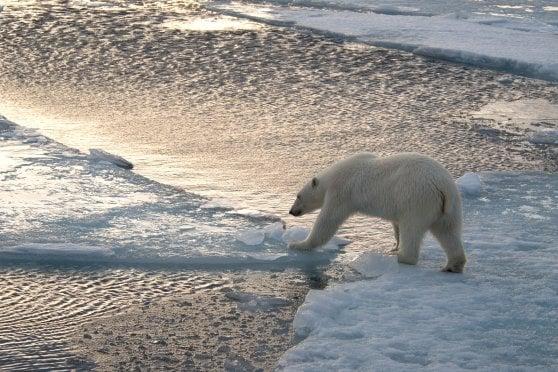 Entro 35 anni potrebbe sparire il 30% degli orsi polari