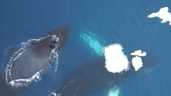 In Antartide i droni spiano le balene per carpirne i segreti