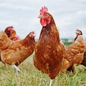 Pollo senza antibiotici, l'etichetta non basta