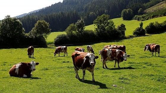 """""""Attenti alle mucche: se aggressive mollate il cane"""". Dopo incidente, Austria prepara codice per i trekker"""