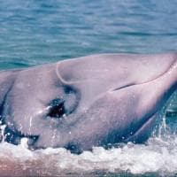 Nella pancia di una balena hanno trovato 40 kg di plastica