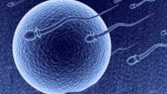 Infertilità maschile, gli spermatozoi 'sani' se prelevati dai testicoli