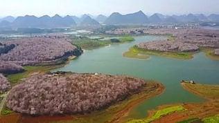 L'oceano rosa degli alberi di ciliegio: la fioritura vista dall'alto
