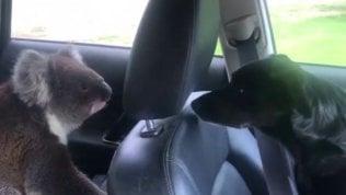 Sull'auto c'è un intruso: il koala si gode l'aria condizionata