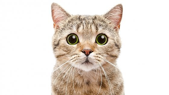 Da Keats a Borges, cinque poesie sui gatti