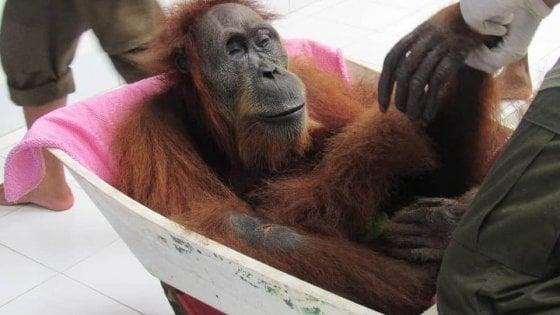 Hope ce l'ha fatta. È ancora viva  la mamma orango impallinata 74 volte