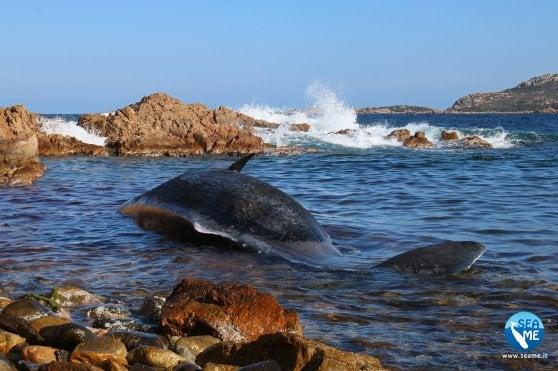 La triste fine del capodoglio: spiaggiato con la pancia piena di plastica