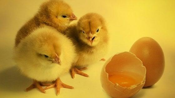 """""""Salviamo i pulcini maschi"""", arrivano in Italia le uova per non sopprimerli alla nascita"""