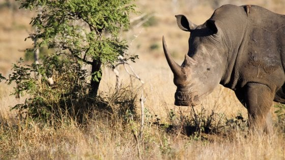 Sud Africa,  bracconiere ucciso da un elefante e divorato dai leoni