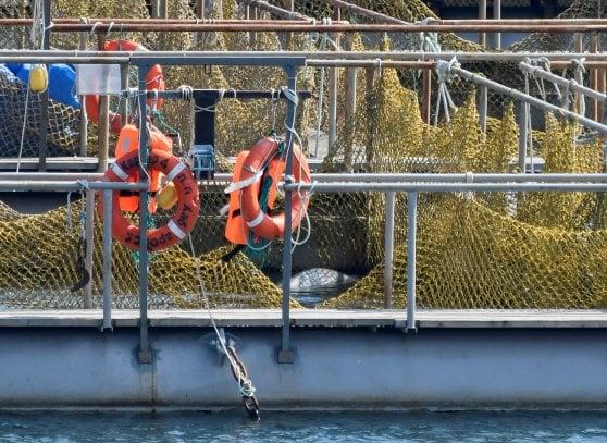 Russia, la decisione del Cremlino: libere le balene in cattività chiuse dentro le gabbie