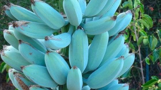 Il frutto più esotico di tutti? La Blue Java, una banana che sa di gelato