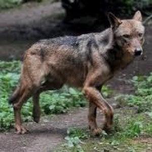 """Il Viminale ai prefetti: """"C'è l'allarme lupi, sì all'abbattimento"""""""